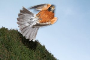 Diving robin