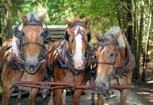 Horses of Mackinaw Island