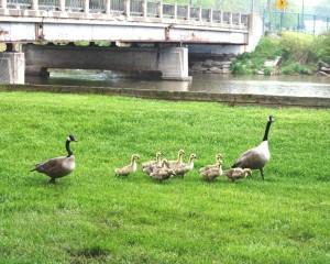 Strolling geese 1