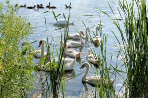Swans a swimming 3